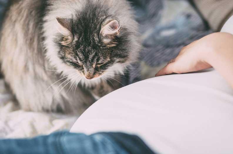Siberian cat coat