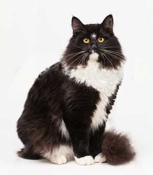Black and white siberian