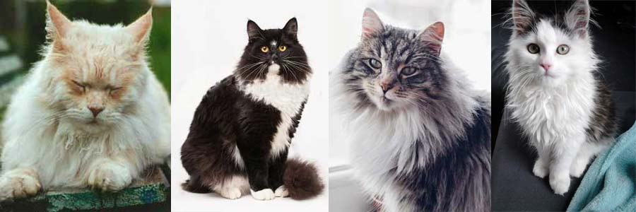 Some of the colors Siberian cat coat can be