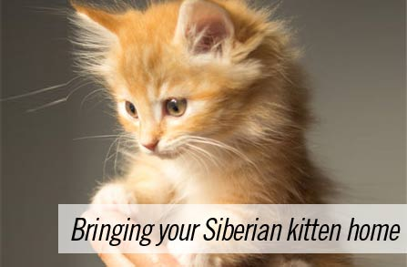 Bringing your Siberian kitten home