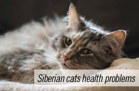 Siberian cats health problems – a complete guide