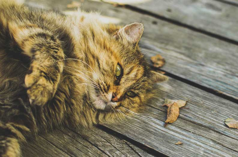 Siberian cat breeders