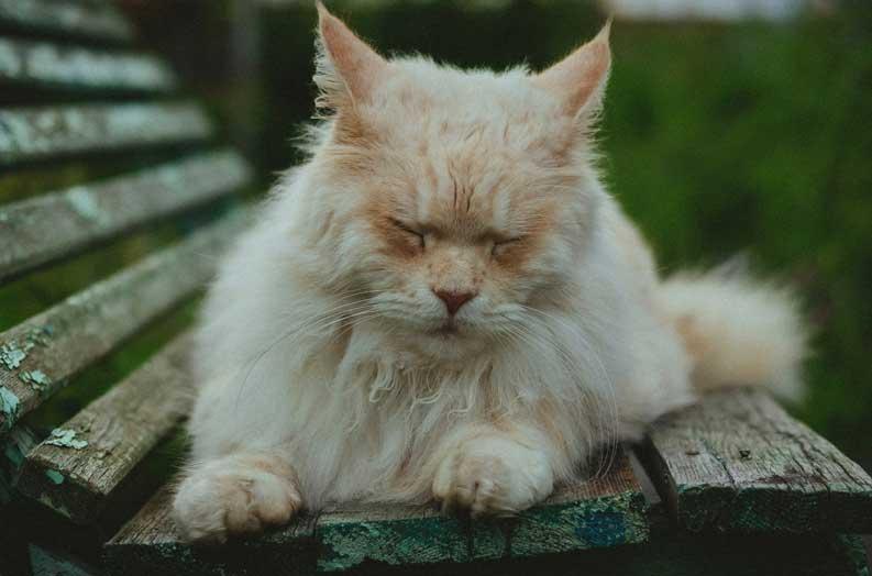 Siberian cat lifespan