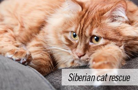 Siberian Cat Rescue