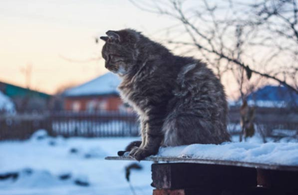 Siberian cat originated in Siberia