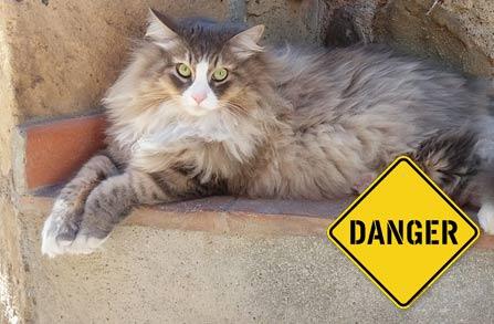 Siberian cat - dangers in your home