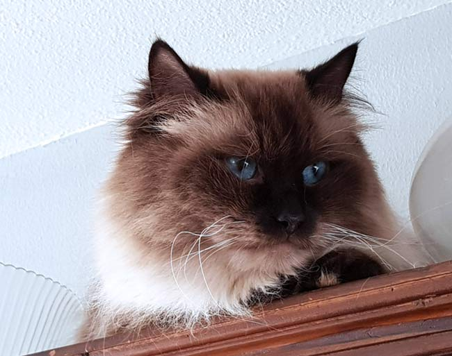 Jayson the Siberian cat