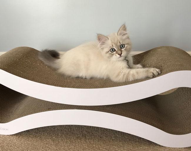 Kitten Valentino
