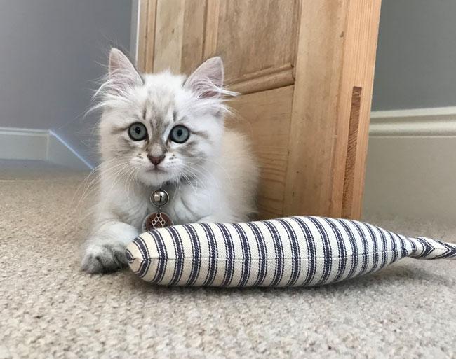 Siberian cat Valentino