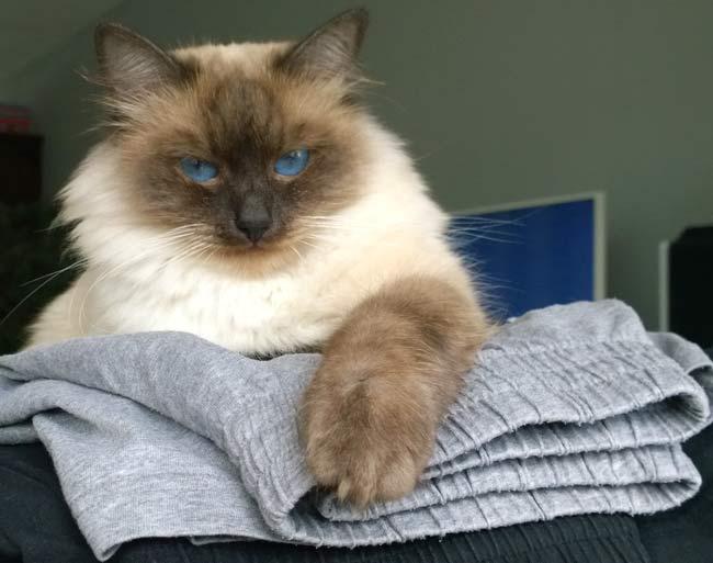 Jewel the Siberian cat
