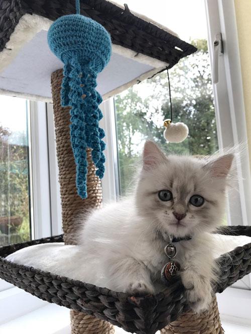 Siberian cute kitten