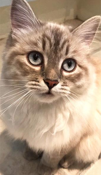 Siberian cat Brianna