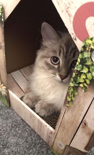 Siberian kitten Briebrie