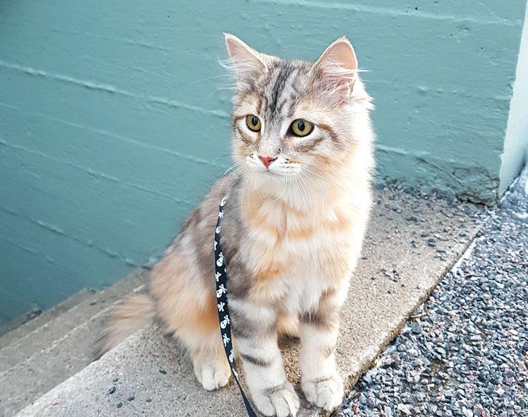 Arthas the Siberian kitty on the porch