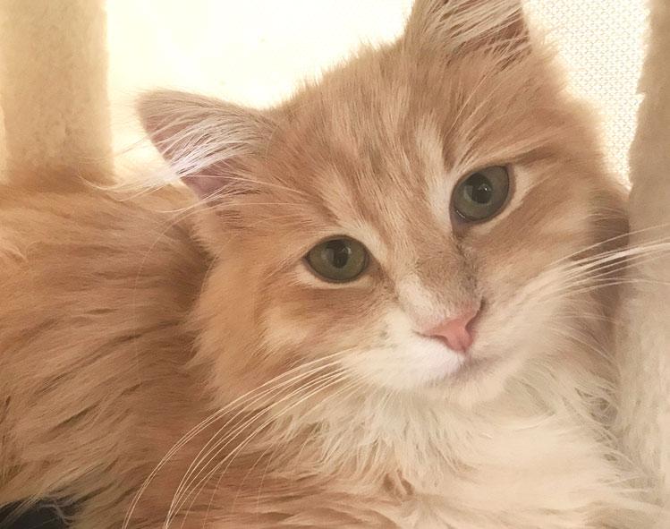 Siberian kitten Fiore