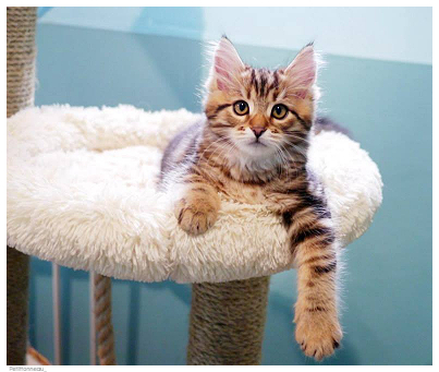 Petittonneau the Siberian cat from France