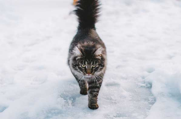 Siberian cat in snow